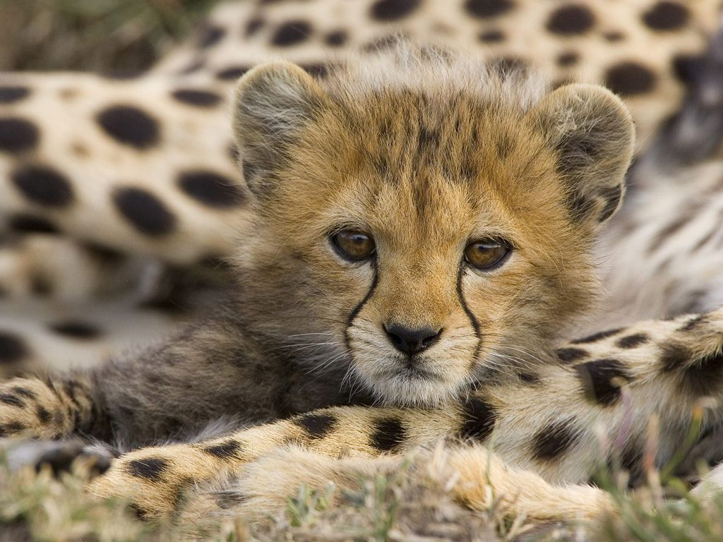 Des bébés guépards ! dans animaux i0hi6508